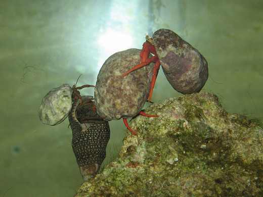 Four Hermit Crabs Together In An Aquarium