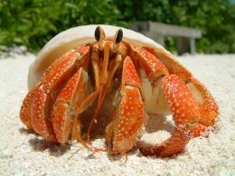 Keeping Hermit Crabs as pets is not that hard if you will just read and learn the basics on this Hub Page.