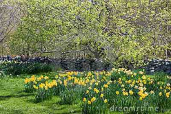 A Couple of months away:  Daffodils and fruit trees glory.