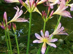 Magic Lilies