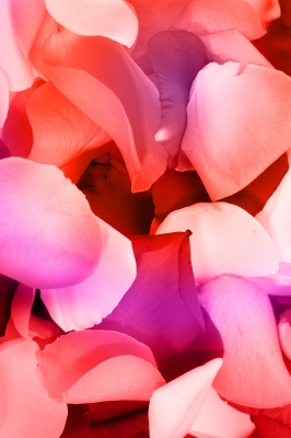 the delicate rose petal has been cherished and used for centuries in homemade beauty products.