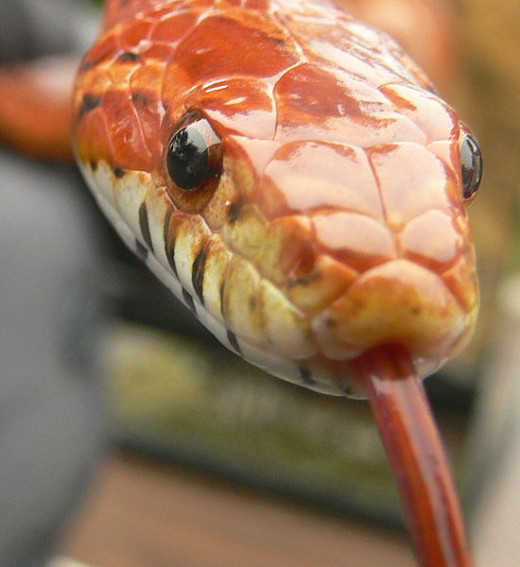 In this photo is a photo of a beautiful corn snake. He is about 39 inches long and is a very friendly and gentle snake.