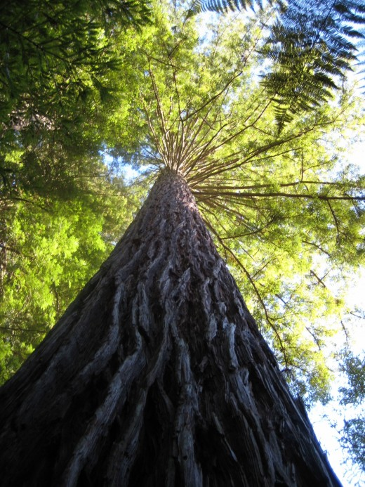 The immense height of the Coast Redwood (sequoia sempervirens)