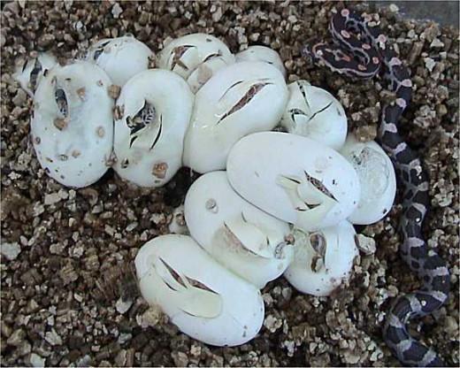 Corn Snake Eggs