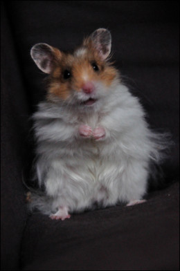 In this photo is a beautiful Teddy Bear Hamster ( Male )