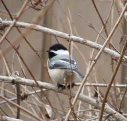 One of my friendly little chickadees perched in the weigela bush.