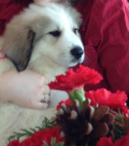 Our  new puppy, Gwynne.