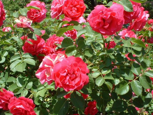 The Rose Flower Pictures Structure Bush Symbolism