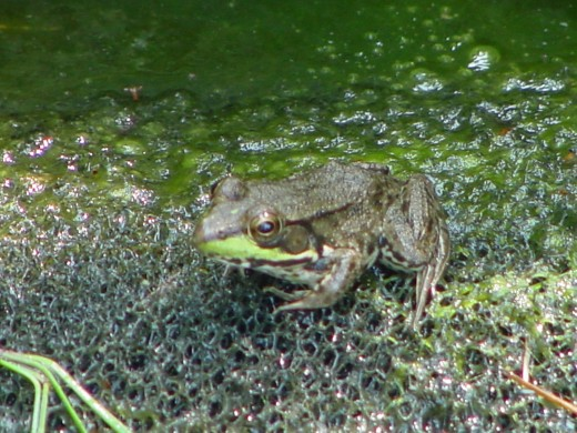 Seeing a frog in your pond.