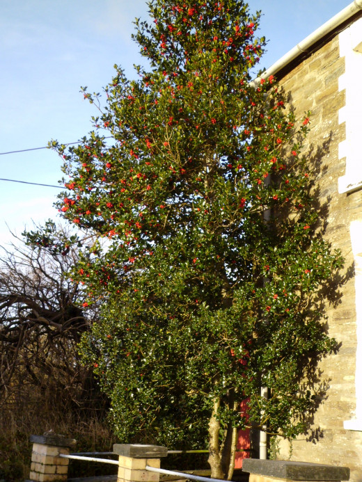 A different variety of Holly Tree.