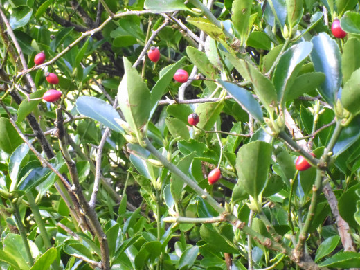 A close up of the Holly Tree.