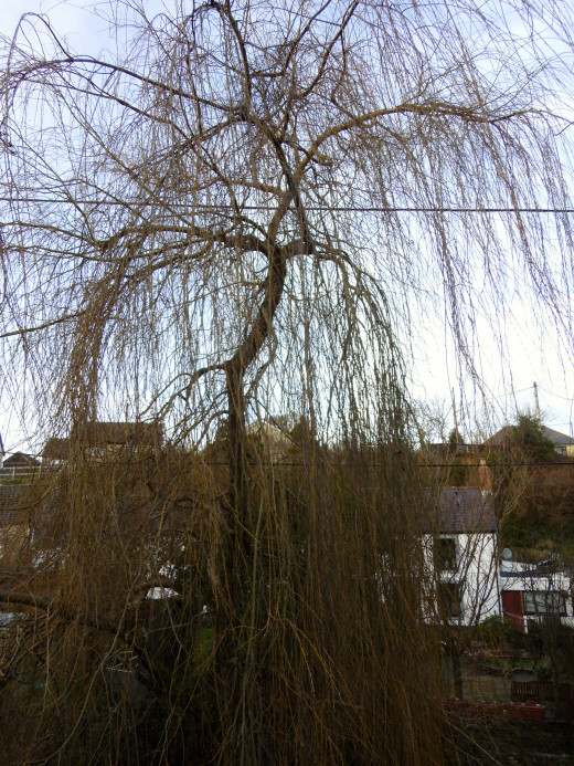 A Weeping Willow.