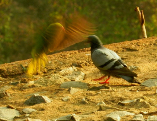Birds at Siri; Photography Near Siri, one of the seven capitals of Delhi.