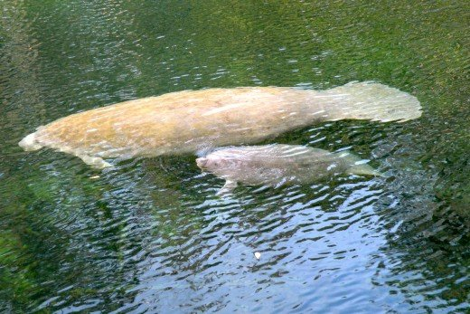A manatee mother and baby glide along in the warm blue spring water.