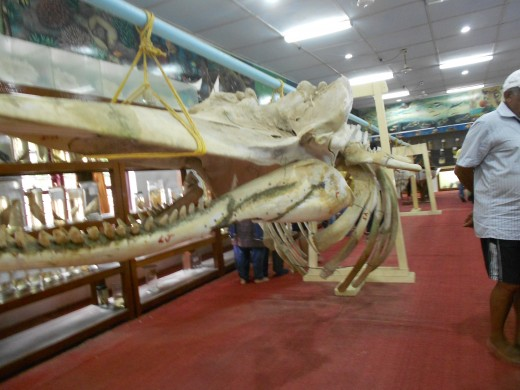 Sperm Whale Skeleton at Kavaratti Museum
