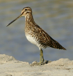 Learn about the Common Snipe Bird