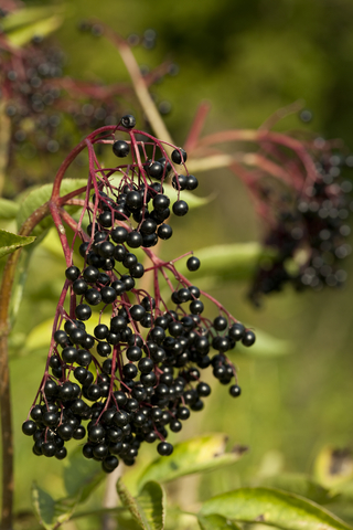 Ripe elderberries, ready for harvest