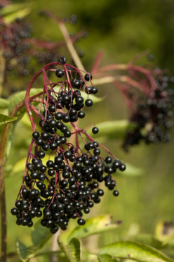 Does Elderberry Syrup Really Work?