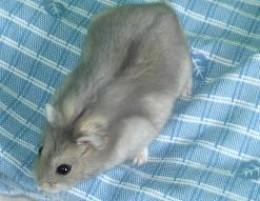Beautiful dwarf hamster