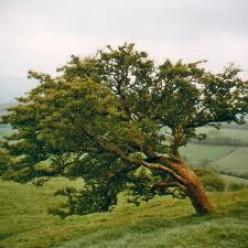 The Old Rowan Tree.
