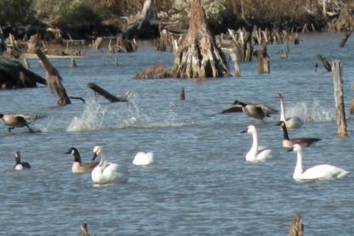 Canada Geese and Tundra Swans migrate to coastal North Carolina.