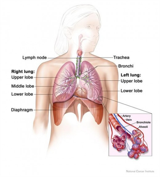 The lungs - showing the bronchioles that are most often affected by asthma
