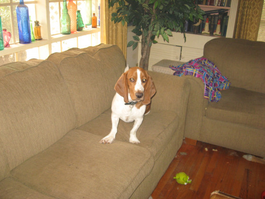 Our Basset hound, Sparky.