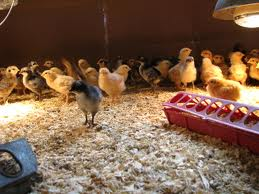 Chickies in a box under a heat lamp