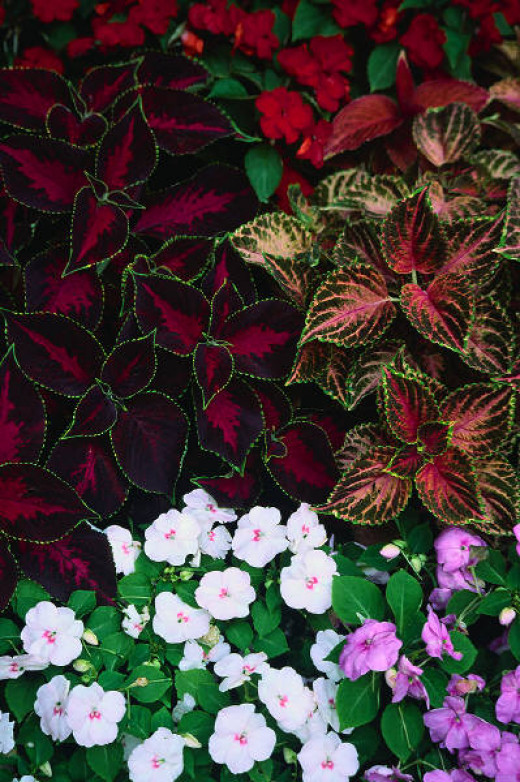 These impatiens are growing with coleus - another good flower for shady areas.