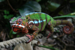 In this photo is a beautiful Panther Chameleon