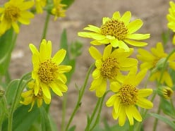 Arnica and Arthritis: Can it Really Help?