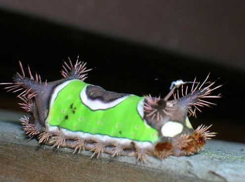 Caterpillar Identification