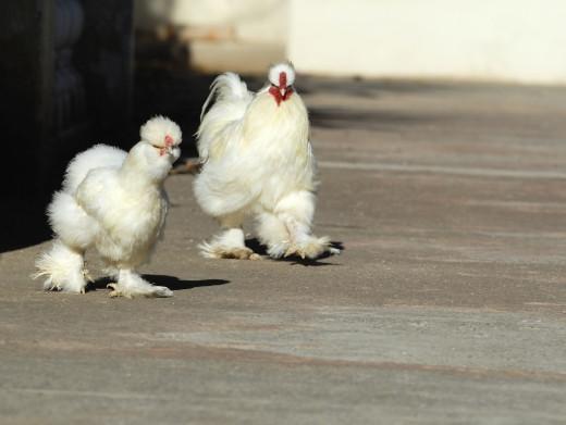 Fluffy, friendly silky chickens