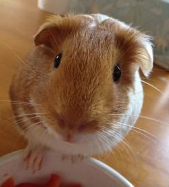 Choosing guinea pigs as pets