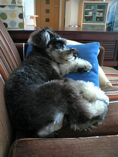 The Miniature Schnauzer will guard the writer, really.