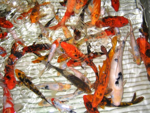 Samurai revered the koi carp because they admired the way it appeared to go to its death stoically