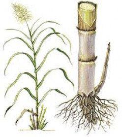 Five Economic Importance of sugarcane and Important Diseases of Sugarcane Plants