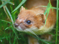 The Life of the Stoat (aka: ermine)