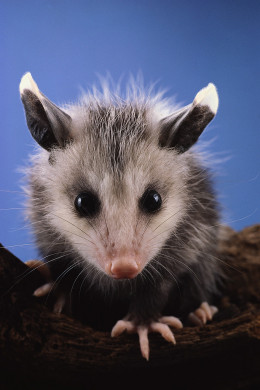 Possums can be cute, but they eat a TON of any food that is available. You don't want them in your garden!