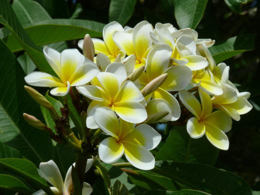 Frangipani in full bloom