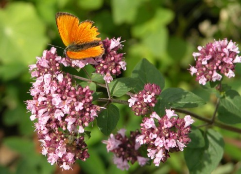 Scarce Copper Butterfly on Oregano