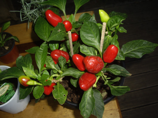 Something different - ornamental chilli plant