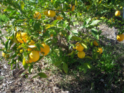 Lemon Fruit Tree