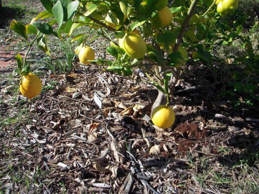 Eureka lemon in winter