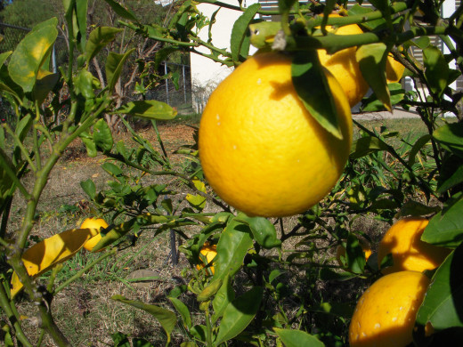 Meyer lemons are rounded in appearance, and slightly more orange in color than a standard lemon.