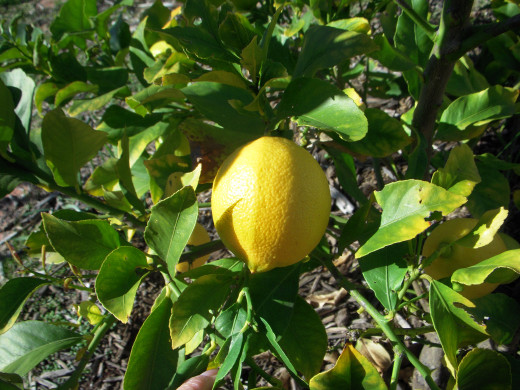 Eureka lemons are bright yellow with the traditional oblong shape associated with lemons.