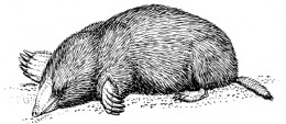 The common mole.