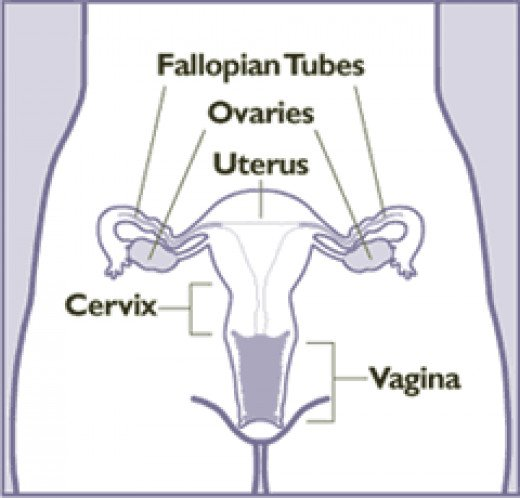 Female Reproductive System. Source: Wikimedia Commons, Public Domain.