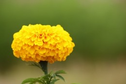 Calendula oil is extracted from marigolds and is a brilliant oil for treating dry, damaged, dehydrated eyes!