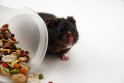 How to Care for your Brand New Pet Hamster